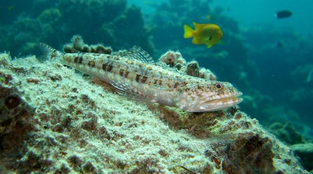 Variegated Lizardfish - Free Stock Photo