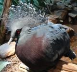 Free Photo - Victoria Crowned Pigeon