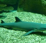 Free Photo - White Tip Shark