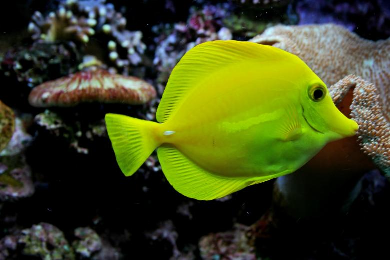 Free Stock Photo of Yellow Tang Created by Pixabay