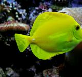 Free Photo - Yellow Tang