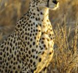 Free Photo - Cheetah Searching for Prey