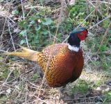 Free Photo - Common Pheasant