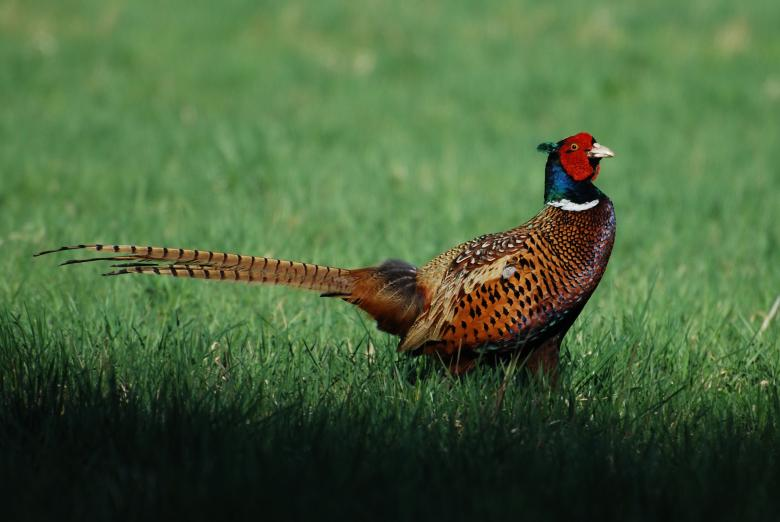 Free Stock Photo of Common Pheasant Created by Pixabay