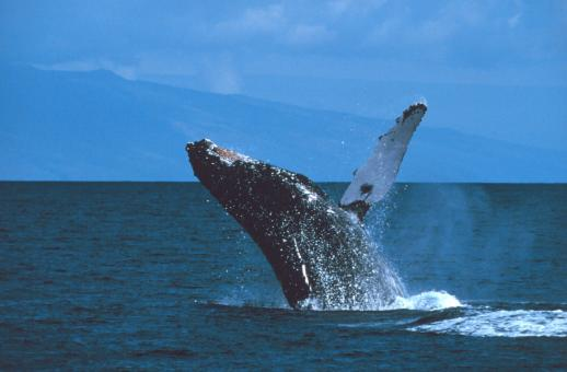 Humpback Whale - Free Stock Photo
