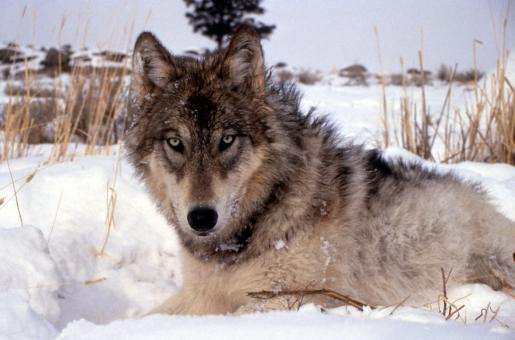Wolf in Winter - Free Stock Photo