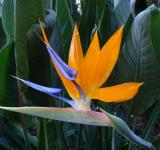 Free Photo - Bird of Paradise Flower