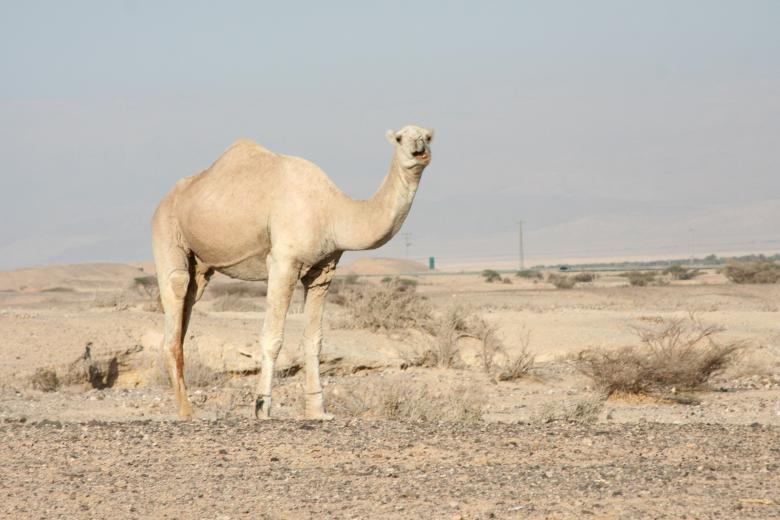 Free Stock Photo of Camel in the Desert Created by Pixabay