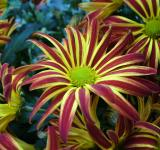 Free Photo - Chrysanthemums in the Garden