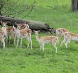 Free Photo - Fallow Deer