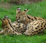 Free Photo - Two Servals