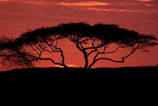 Acacia Tree - Free Stock Photo