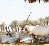 Free Photo - Arabian Oryx