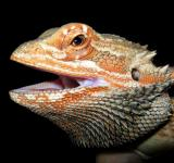 Free Photo - Bearded Dragon