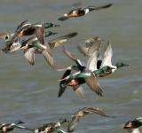 Free Photo - Flying Ducks