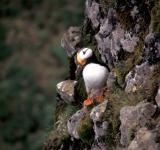 Free Photo - Horned Puffin