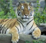 Free Photo - Siberian Tiger Resting
