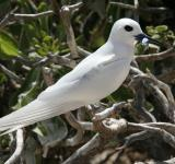 Free Photo - White Tern