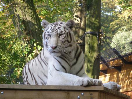 White Tiger Resting - Free Stock Photo