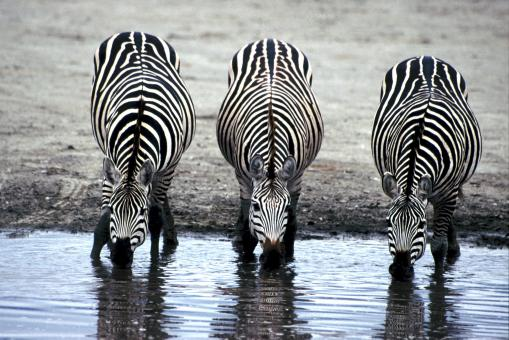 Zebras Drinking Water - Free Stock Photo