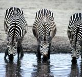 Free Photo - Zebras Drinking Water