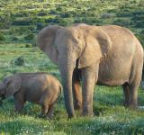 Free Photo - African Elephants