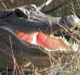 Free Photo - American Alligator