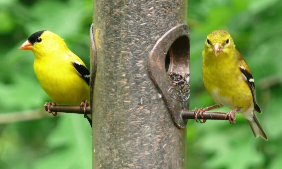 American Goldfinches - Free Stock Photo