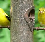 Free Photo - American Goldfinches