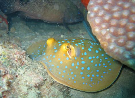 Blue Spotted Stingray - Free Stock Photo