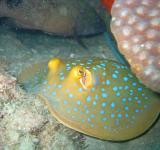 Free Photo - Blue Spotted Stingray