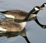 Free Photo - Canadian Geese