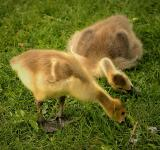 Free Photo - Geese Goslings