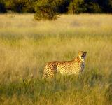 Free Photo - Cheetah in the Jungle