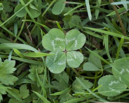 Four Leaf Clover - Free Stock Photo