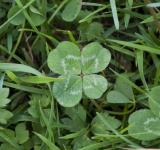 Free Photo - Four Leaf Clover