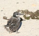 Free Photo - Grey Backed Tern