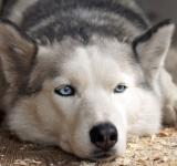 Free Photo - Husky Dog