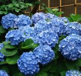 Free Photo - Hydrangea in the Garden