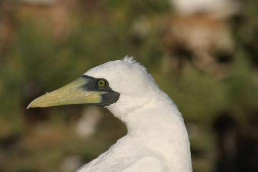 Masked Booby - Free Stock Photo