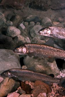 Mountain Whitefish - Free Stock Photo