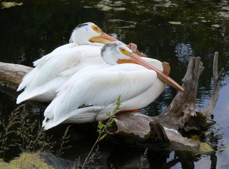 White Pelicans - Free Stock Photo