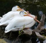 Free Photo - White Pelicans
