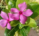 Free Photo - Fresh Periwinkle