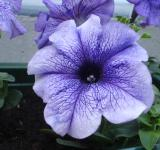 Free Photo - Petunia in the Garden