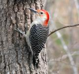 Free Photo - Red Bellied Woodpecker