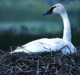 Free Photo - Trumpeter Swan