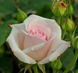 Free Photo - White Tea Rose