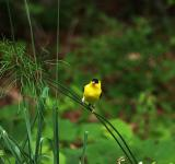 Free Photo - Yellow Bird