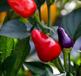 Free Photo - Spicy Peppers